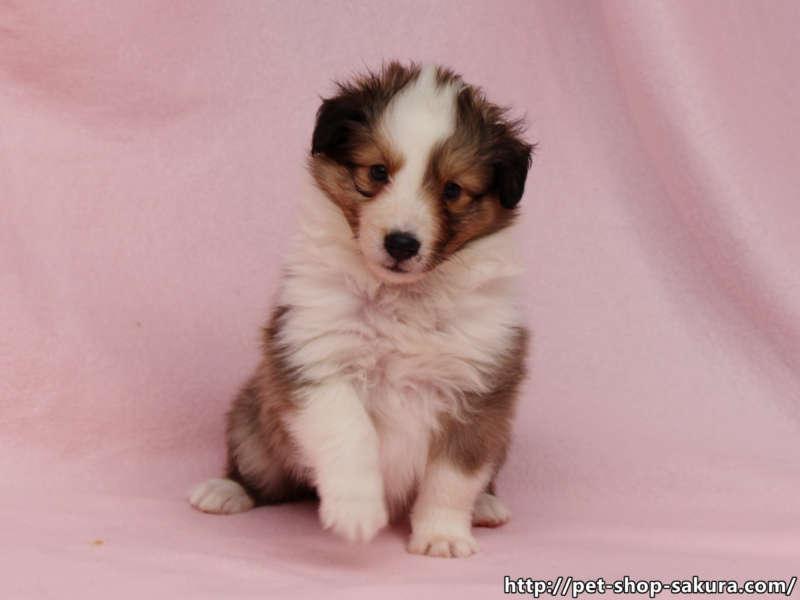 シェットランドシープドッグ(シェルティー)子犬販売、セーブル(セーブル&ホワイト)、女の子(メス)、2017年03月31日産まれ、神奈川県ブリーダー、ID10871