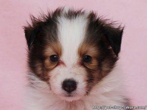 シェットランドシープドッグ(シェルティー)子犬販売、セーブル(セーブル&ホワイト)、女の子(メス)、2017年03月31日産まれ、神奈川県ブリーダー、ID10872