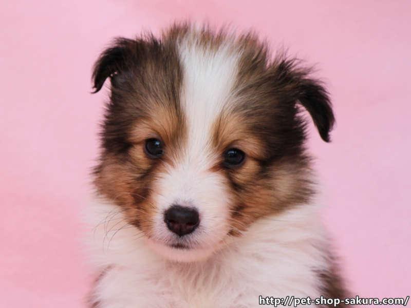 シェットランドシープドッグ(シェルティー)子犬販売、セーブル(セーブル&ホワイト)、女の子(メス)、2017年03月31日産まれ、神奈川県ブリーダー、ID10873