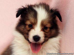 シェットランドシープドッグ(シェルティー)子犬販売、セーブル(セーブル&ホワイト)、男の子(オス)、2017年03月31日産まれ、神奈川県ブリーダー、ID10874