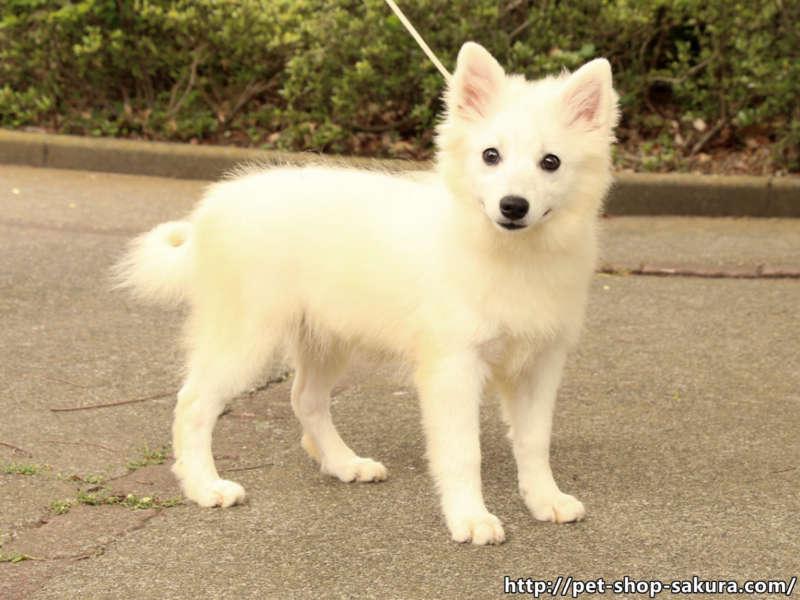 日本スピッツ子犬販売、白毛(ホワイト)、男の子(オス)、2017年01月18日産まれ、神奈川県ブリーダー、ID10882