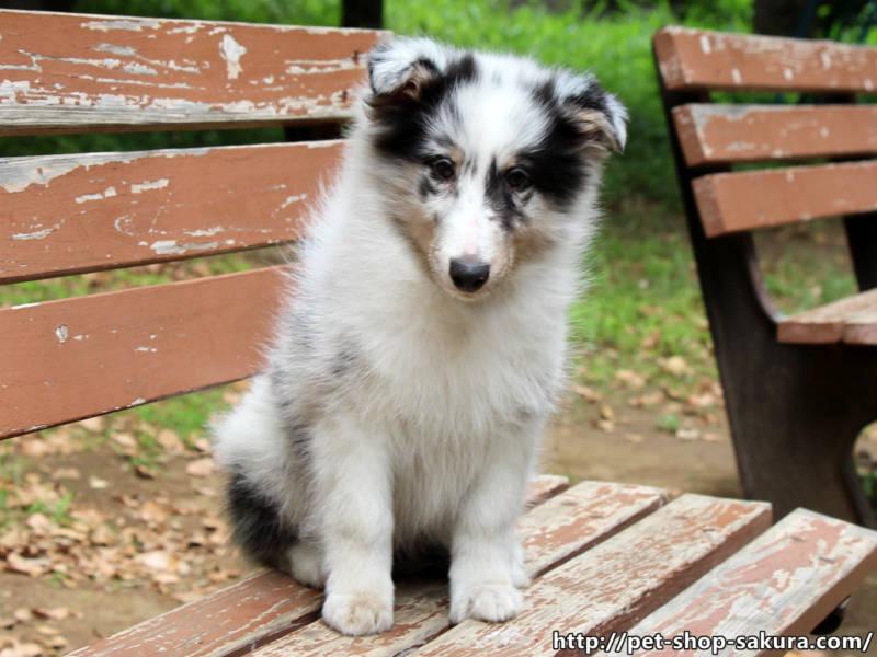 シェットランドシープドッグ(シェルティー)子犬販売、男の子(オス)ブルーマール(ブルーマール&ホワイト&タン)2017年03月01日産まれ、東京都ブリーダー、ID10927