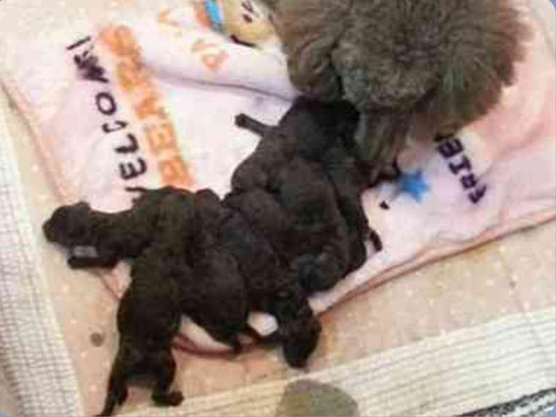 スタンダードプードル子犬販売、チョコ系毛色、男の子(オス)、女の子(メス)、2017年05月25日産まれ、東京都ブリーダー、ID10972