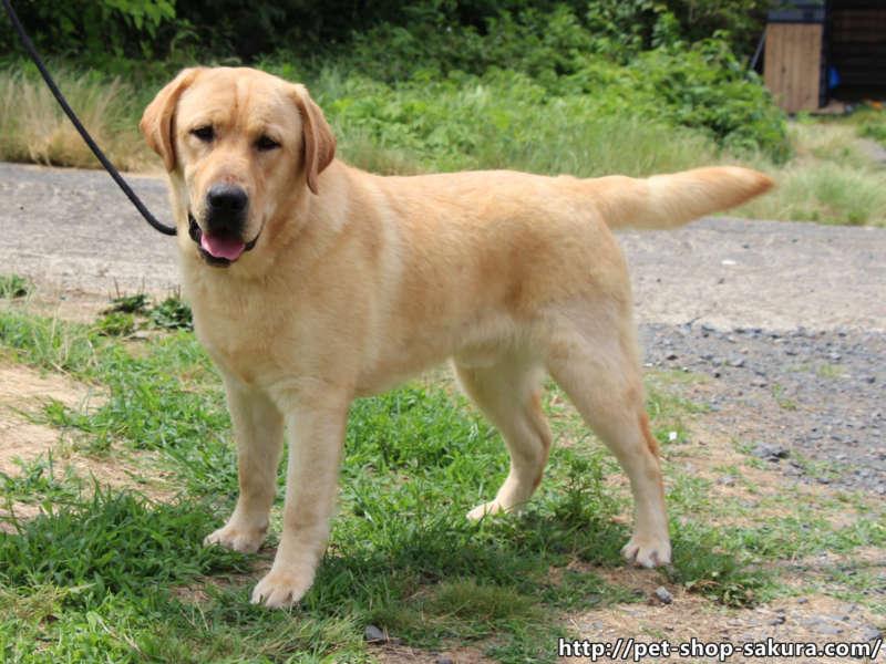ラブラドールレトリーバー子犬販売、男の子(牡、Male)、イエロー、2016年09月22日産まれ、茨城県ブリーダー、横向き、ID10990