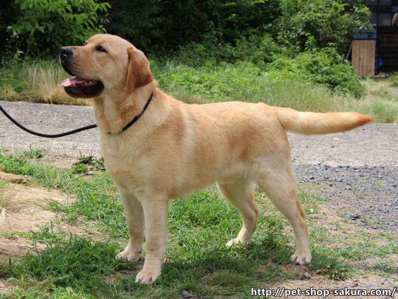 ラブラドールレトリーバー子犬販売、男の子(牡、Male)、イエロー、2016年09月22日産まれ、茨城県ブリーダー、左側面、フリーステイ、ID10990