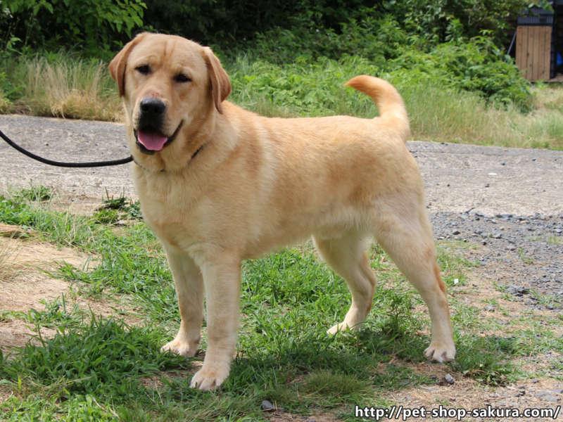 ラブラドールレトリーバー子犬販売、男の子(牡、Male)、イエロー、2016年09月22日産まれ、茨城県ブリーダー、横向き、尻尾フリフリ♪、ID10990