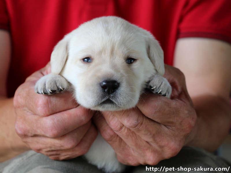 ラブラドールレトリーバー子犬販売、イエロー、女の子(牝、Female)、2017年06月09日産まれ、茨城県ブリーダー、抱っこ、ID10985