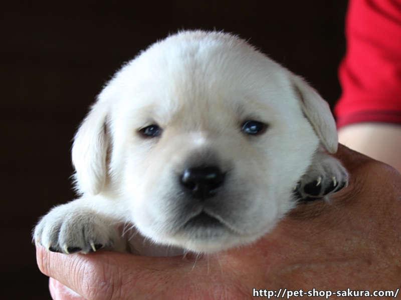 ラブラドールレトリーバー子犬販売、イエロー、女の子(牝、Female)、2017年06月09日産まれ、茨城県ブリーダー、お顔、ID10987