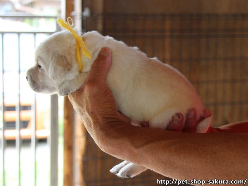 ラブラドールレトリーバー子犬販売、イエロー、女の子(牝、Female)、2017年06月09日産まれ、茨城県ブリーダー、横向き、ID10987