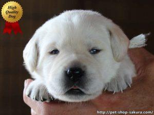 ラブラドールレトリーバー子犬販売、イエロー、女の子(牝、Female)、2017年06月09日産まれ、茨城県ブリーダー、お顔、High Quality Dog、ID10988
