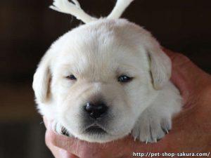 ラブラドールレトリーバー子犬販売、イエロー、女の子(牝、Female)、2017年06月09日産まれ、茨城県ブリーダー、お顔、ID10989