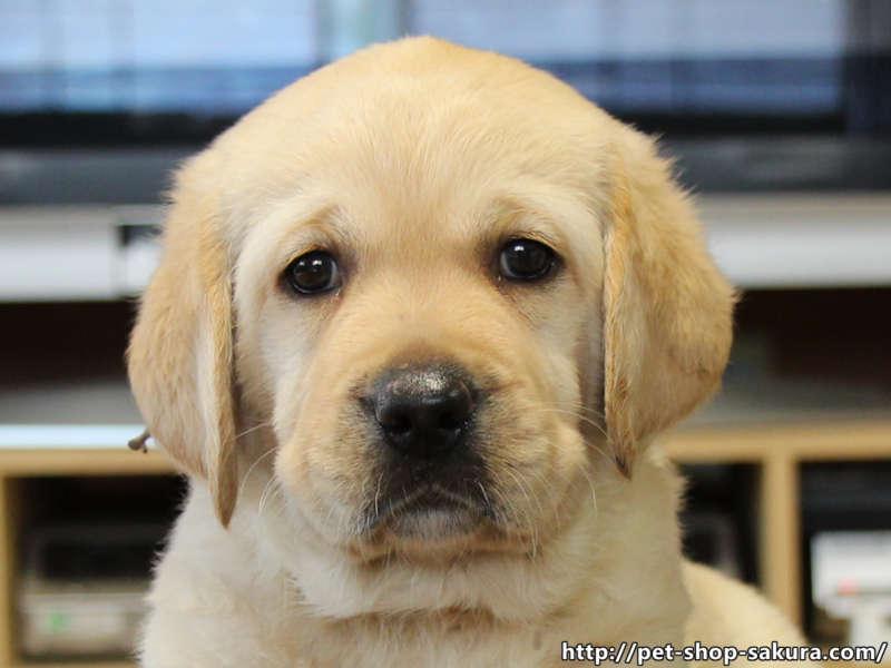 ラブラドールレトリーバー子犬販売、女の子(牝、Female)、イエロー(黄ラブ)、2017年06月10日産まれ、群馬県ブリーダー、ID11043