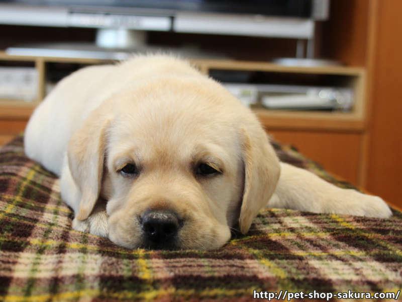 ラブラドールレトリーバー子犬販売、男の子(牡、Male)、イエロー(黄ラブ)、2017年06月10日産まれ、群馬県ブリーダー、ID11041