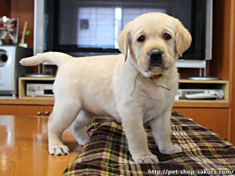 ラブラドールレトリーバー子犬販売、女の子(牝、Female)、イエロー(黄ラブ)、2017年06月10日産まれ、群馬県ブリーダー、ID11042
