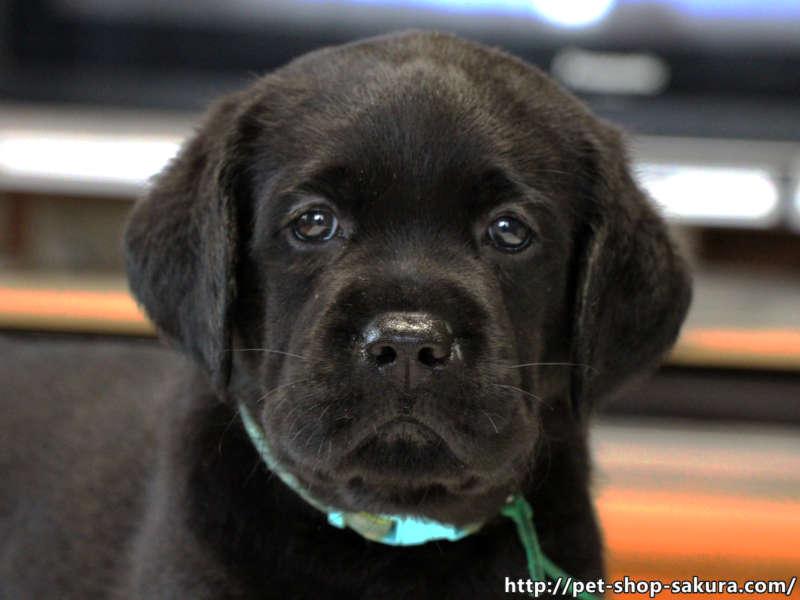 ラブラドールレトリーバー子犬販売、女の子(牝、Female)、ブラック(黒ラブ)、2017年06月10日産まれ、群馬県ブリーダー、ID11044