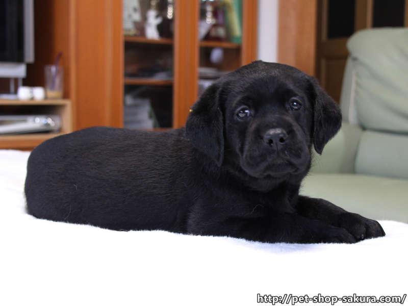 ラブラドールレトリーバー子犬販売、女の子(牝、Female)、ブラック(黒ラブ)、2017年06月10日産まれ、群馬県ブリーダー、ID11045