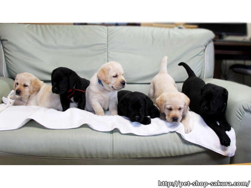 ラブラドールレトリーバー子犬販売、男の子(牡、Male)、女の子(牝、Female)、イエロー(黄ラブ)、ブラック(黒ラブ)、2017年06月10日産まれ、群馬県ブリーダー、兄弟姉妹全員集合、ID11041、ID11042、ID11043、ID11044、ID11045