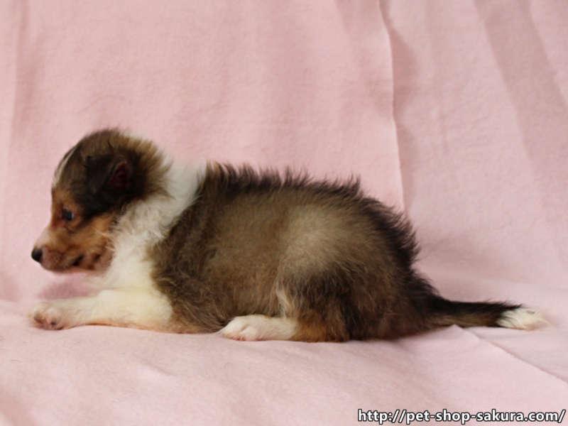 シェルティー子犬販売、男の子(オス)、セーブル&ホワイト、2017年06月24日産まれ、神奈川県ブリーダー、ID11038