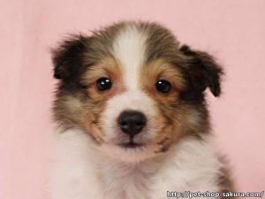 シェルティー子犬販売、女の子(メス)、セーブル&ホワイト、2017年06月24日産まれ、神奈川県ブリーダー、ID11040