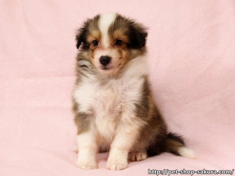 シェルティー子犬販売、男の子(オス)、セーブル&ホワイト、2017年06月24日産まれ、神奈川県ブリーダー、ID11037