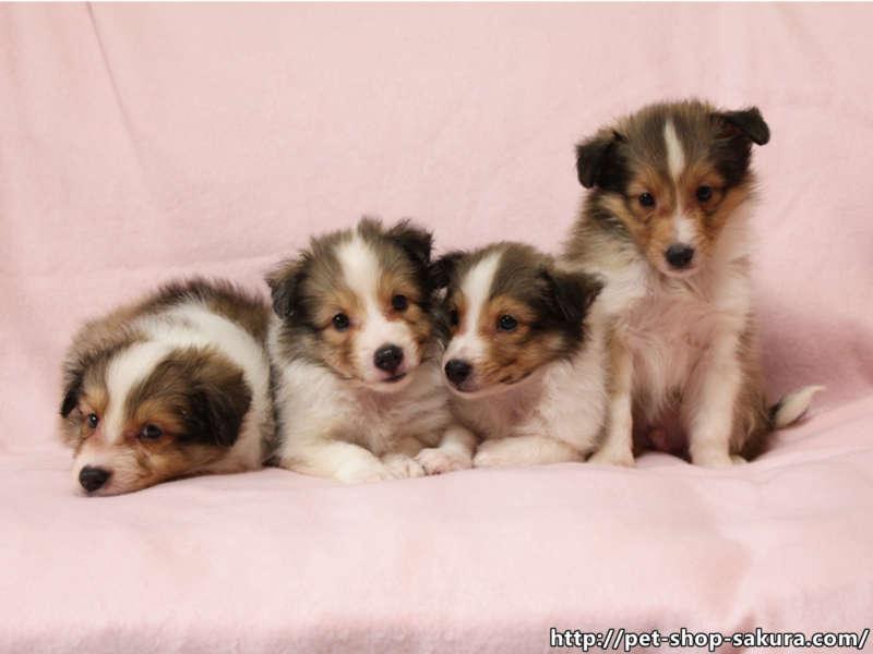 シェルティー子犬販売、男の子(オス)、女の子(メス)、セーブル&ホワイト、2017年06月24日産まれ、神奈川県ブリーダー、兄弟姉妹全員集合、ID11037、ID11038、ID11039、ID11040