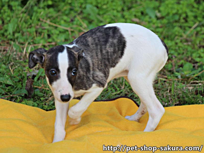 ウィペット子犬販売情報、女の子(メス)、ホワイト&ブリンドル、2017年08月30日産まれ、千葉県ブリーダー、ID11275