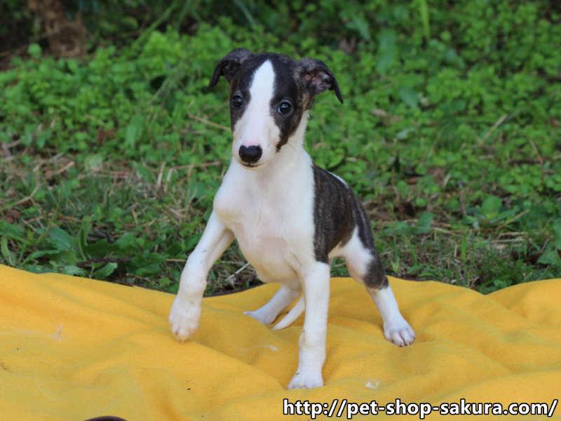 ウィペット子犬販売情報、男の子(オス)、ホワイト&ブリンドル、2017年08月30日産まれ、千葉県ブリーダー、ID11276