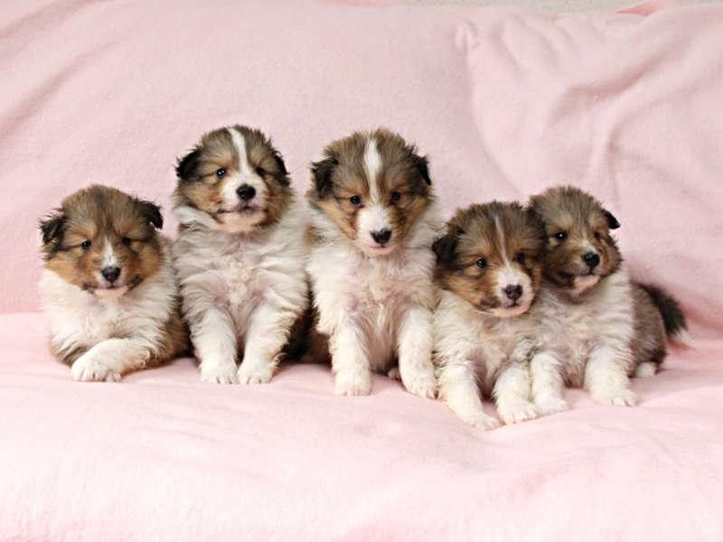 シェットランドシープドッグ(シェルティー)子犬販売情報、兄弟姉妹全員集合、ID11415、ID11416、ID11417、ID11418