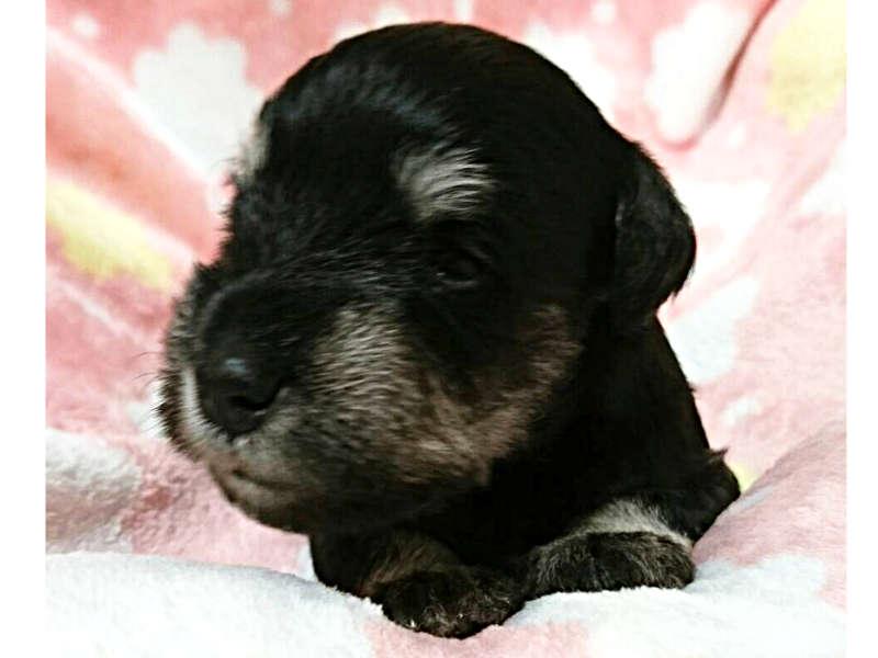 ミニチュアシュナウザー子犬販売情報、ブラック&シルバー、男の子、ID11409