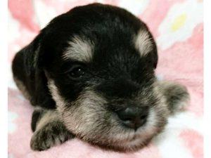 ミニチュアシュナウザー子犬販売情報、男の子、ブラック&シルバー、ID11410
