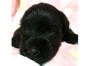 ミニチュアシュナウザー子犬販売情報、女の子、ブラック、ID11412
