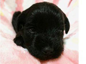 ミニチュアシュナウザー子犬販売情報、女の子、ブラック、ID11413
