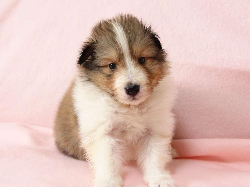 シェットランドシープドッグ(シェルティー)子犬販売情報、正面、ID11415