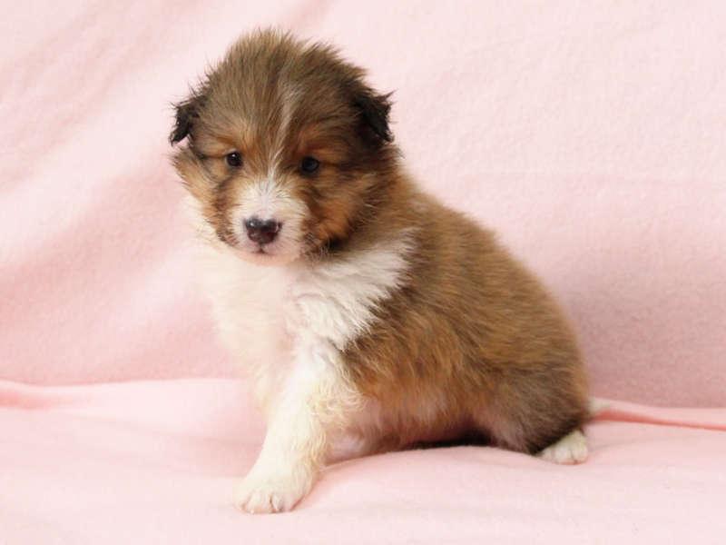 シェットランドシープドッグ(シェルティー)子犬販売情報、おすわり、ID11416