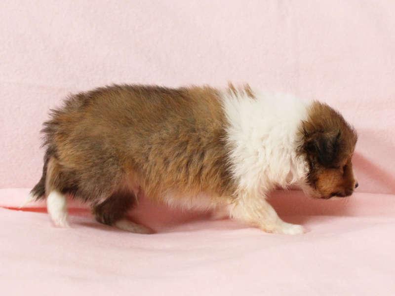 シェットランドシープドッグ(シェルティー)子犬販売情報、右側面、ID11416