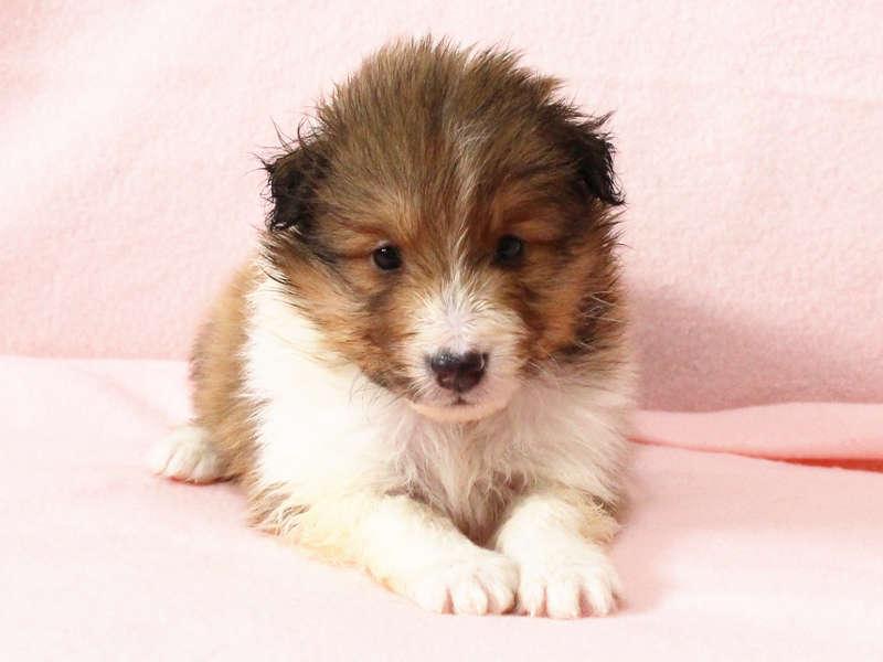 シェットランドシープドッグ(シェルティー)子犬販売情報、正面、フセ、ID11416