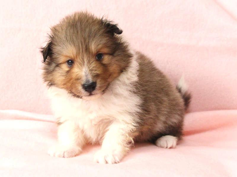 シェットランドシープドッグ(シェルティー)子犬販売情報、正面、フセ、ID11417