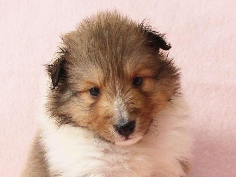 シェットランドシープドッグ(シェルティー)子犬販売情報、お顔、ID11417