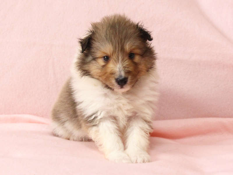 シェットランドシープドッグ(シェルティー)子犬販売情報、正面、おすわり、ID11417