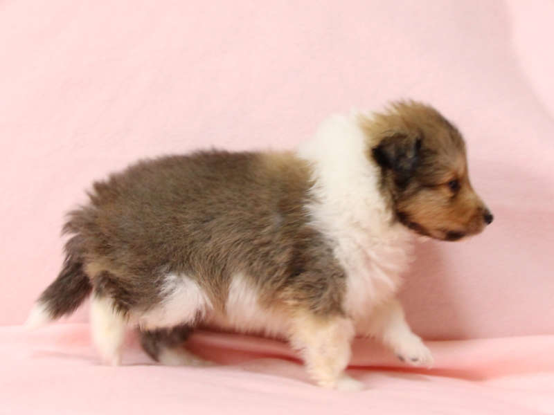 シェットランドシープドッグ(シェルティー)子犬販売情報、右側面、ID11417