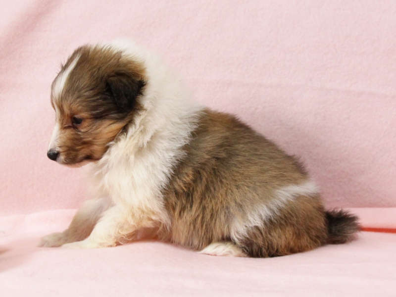 シェットランドシープドッグ(シェルティー)子犬販売情報、左側面、ID11418