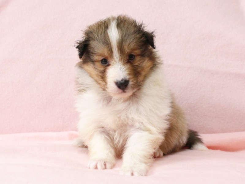 シェットランドシープドッグ(シェルティー)子犬販売情報、正面、ID11418
