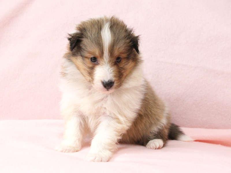 シェットランドシープドッグ(シェルティー)子犬販売情報、おすわり、ID11418