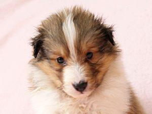 シェットランドシープドッグ(シェルティー)子犬販売情報、お顔、ID11418