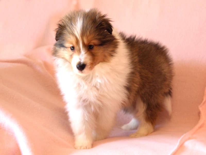 シェットランドシープドッグ(シェルティー)子犬販売情報、左斜め前、あんよ、ID11415