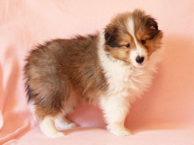 シェットランドシープドッグ(シェルティー)子犬販売情報、右斜め前、ID11415
