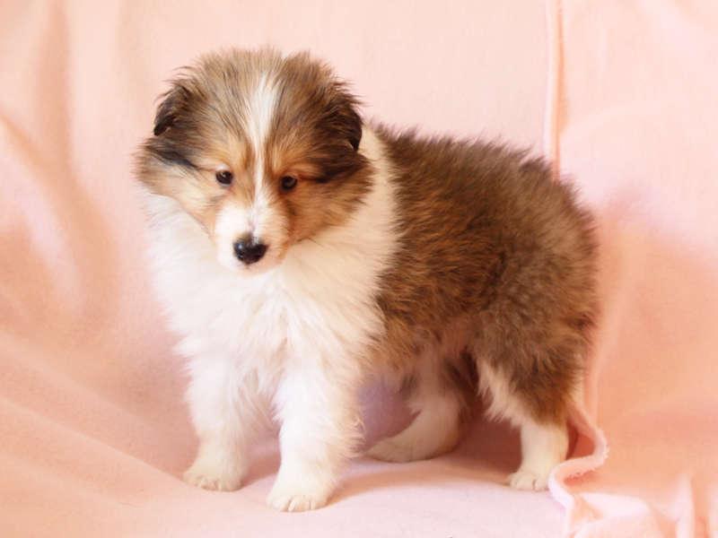 シェットランドシープドッグ(シェルティー)子犬販売情報、左斜め前、ID11415
