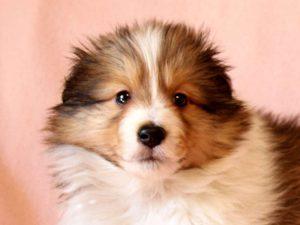 シェットランドシープドッグ(シェルティー)子犬販売情報、お顔、ID11415
