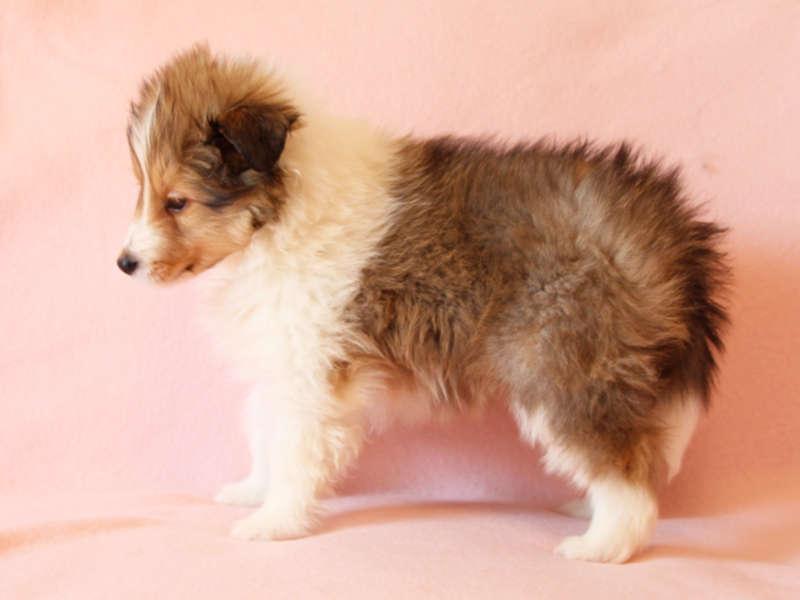 シェットランドシープドッグ(シェルティー)子犬販売情報、左側面、ID11415