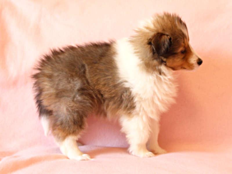 シェットランドシープドッグ(シェルティー)子犬販売情報、右側面、ID11415